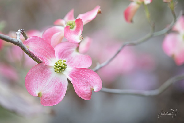 April 6 - This is not on my patio. In fact I had to drive an hour and a half today to find a Dogwood tree in Southern California...but it was worth it.<br /> <br /> #CY365 - On My Patio/Plant<br /> Descanso Gardens<br /> La Canada, CA