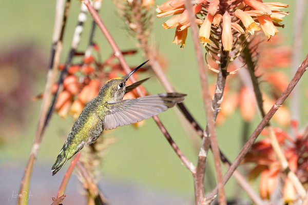 November 7 - 90+ images of this hummingbird feeding, and only one where he is not behind a branch or a petal...<br /> <br /> #CY365 - Thankful for Looking Through