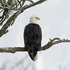 January 10 - It's still eagle season in my neck of the woods...<br /> <br /> #365PictureToday - Feathers