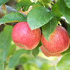 September 29 - Today was apple picking day at Mountain View Organic Orchard...
