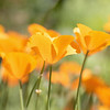 March 1 - Back in the land of flowers...I've missed the California Poppies