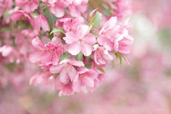 May 23 -<br /> Dear Mr. Landscaper,<br /> Thank you for planting a Crabapple <br /> Tree in our yard...<br /> <br /> #365PictureToday - Taffy Day