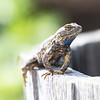 March 18 - Cheery Photo - Day 2<br /> When I was visiting California, I realized I do NOT miss lizards...