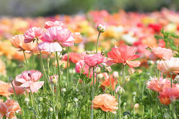March 4 - We're hitting all my favorite spots...<br /> <br /> The Flower Fields<br /> Carlsbad, CA