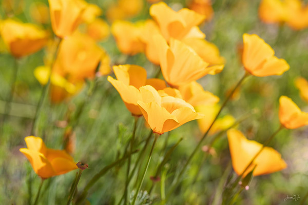 June 26 - California poppies in North Idaho...the best of both worlds
