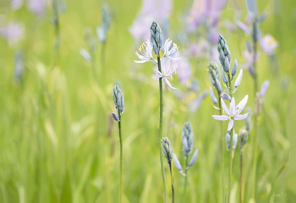 May 28 - A few weeks ago I had never heard of Camas...now I have a great appreciation for this delicate wild flower.