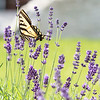 July 12 - My lavender is popular...