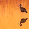 March 3 - Red Ibis at sunset...
