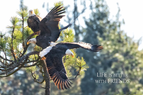 January 24 - I'm still combing through my December eagle images...you'll be seeing them from time to time.<br /> <br /> #365PIctureToday - Compliment Day