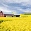 June 25 - It's canola season in the Palouse...