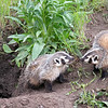 June 16 - Baby Badger Banter...<br /> <br /> Yellowstone National Park