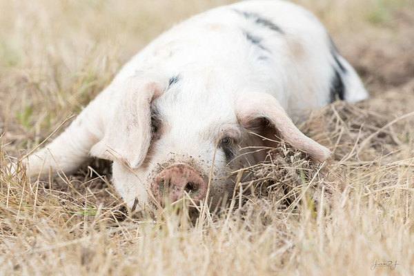 """February 26 - """"The first little pig was very lazy. He didn't want to do any work at all and he built his house out of straw...""""<br /> <br /> #365PictureToday - Fairy Tale Day"""