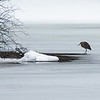 December 26 - Heron on Ice...