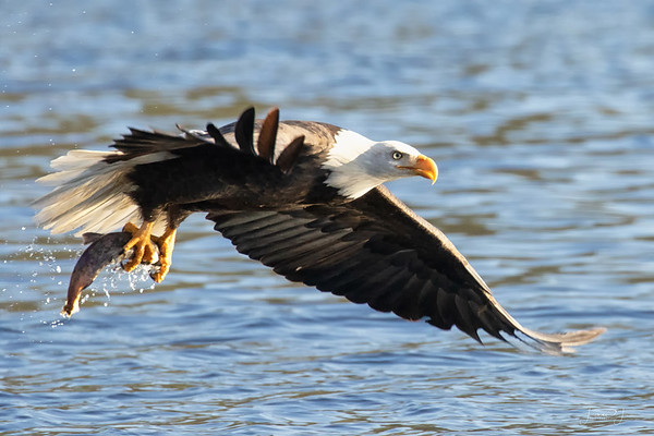 January 5 - Though the eagle action is slowing down, you can still get lucky...<br /> <br /> #365PictureToday - Bird Day/In Flight