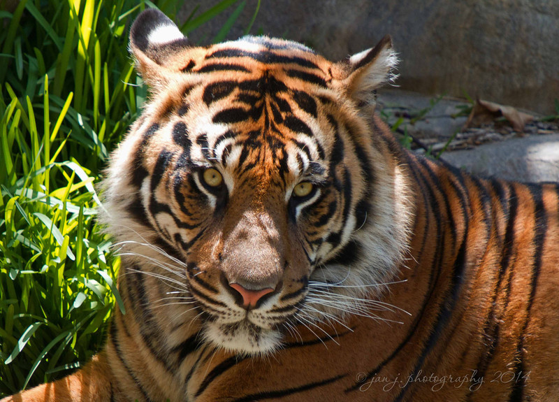 June 13 - I finally got a chance to check out the new tiger exhibit at the San Diego Safari Park.