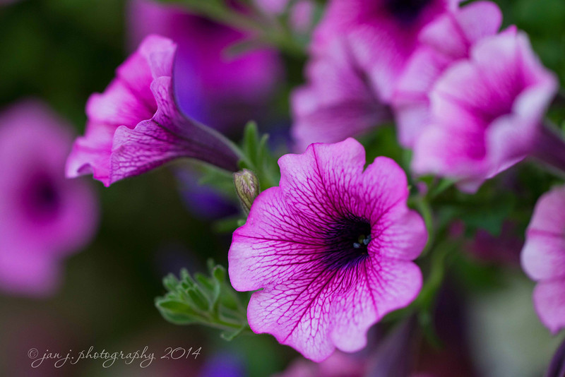 June 23 - Petunia Basket