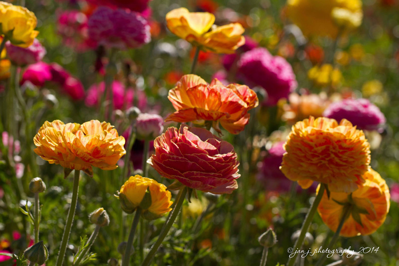 March 10 - The Ranunculus fields are in bloom in Carlsbad :-)