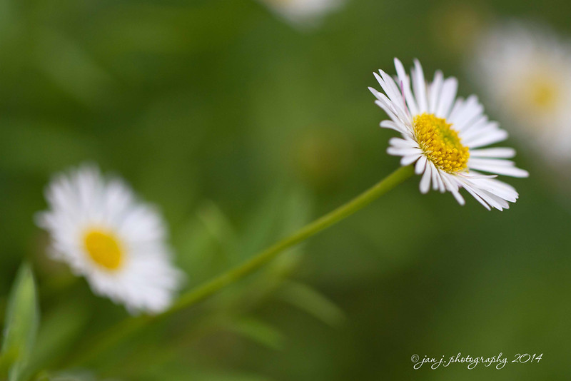 March 4 - Daisies