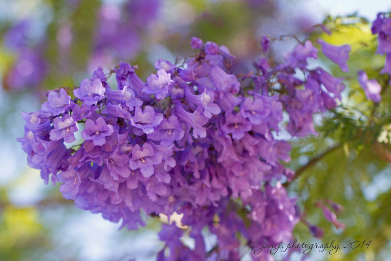 June 11 - The Jacaranda Tree...we may not have lilacs, but we have these!