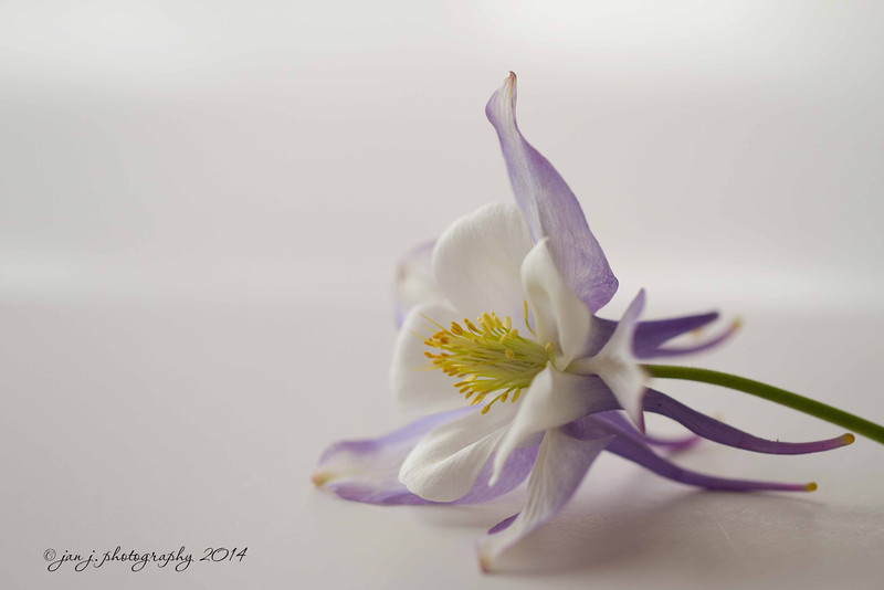 March 7 - Back to Flower Fridays...I have always loved Columbines