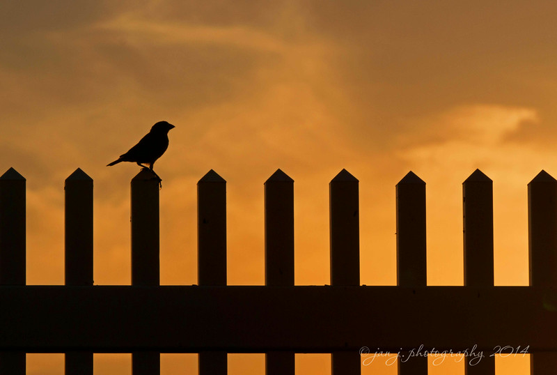 July 12 - Bird on the Fence