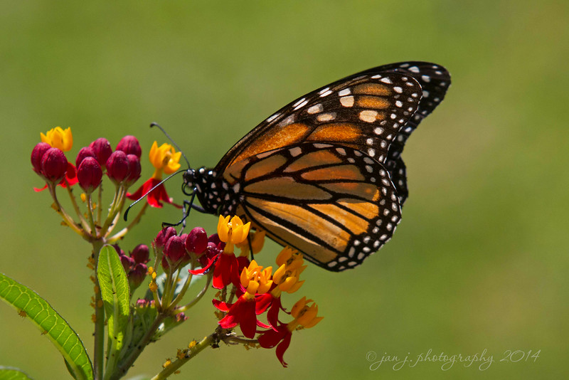 September 3 - Haven't seen any Monarchs in our yard for a few weeks...but now they're back.