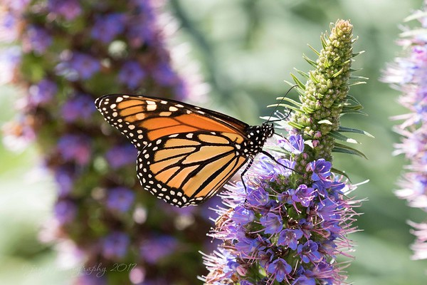 April 29 - I'm thankful that the winds have calmed and the butterflies have returned...<br /> <br /> #CY365 - Buzz