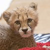 February 10 - I'm thankful this little lady sat still for about a half a second...<br /> <br /> #CY365 - For Fun<br /> San Diego Safari Park