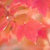 October 26 - I was thankful to come across some red leaves...<br /> <br /> #CY365 - Red Leaves