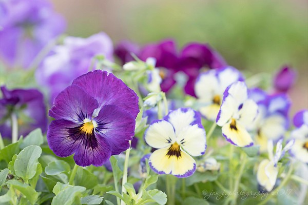 February 4 - When I look at Pansies I see smiles and they make me smile.  I'm thankful for the reminder that just a simple smile can make someone's day...<br /> <br /> #CY365 - Selective Focus