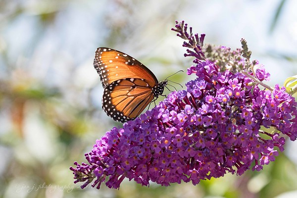 June 3 - So thankful to find a Queen Butterfly today. I don't think I've seen one around here before.<br /> <br /> #CY365 - Radiant<br /> San Joaquin Wildlife Refuge<br /> Irvine, CA