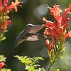 January 29 - I'm thankful for the opportunity to watch these little Hummingbirds in flight...<br /> <br /> #CY365 - Contrast