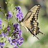 September 30 - When I see a Swallowtail Butterfly I'm always thankful for the chance to stop and watch them. I love the shape and colors of their wings.<br /> <br /> #CY365 - Lined