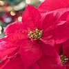 December 18 - Let heaven and nature sing...<br /> I'm thankful for the color red - especially this time of year.<br /> <br /> #CY365 - Bokeh Background