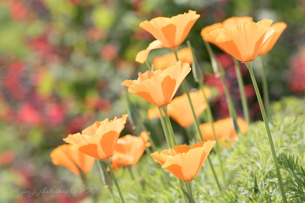 March 5 - I'm thankful to be finding more of our California Poppies everyday...<br /> <br /> Mission San Juan Capistrano, CA