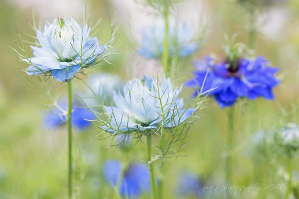 """July 2 - I'm thankful each time I find these flowers growing in a garden. They're called Nigella """"Love in a Mist"""", which I think is a perfect name for them. Now I wish I knew where to buy them so I could add them to my own garden."""