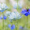 "July 2 - I'm thankful each time I find these flowers growing in a garden. They're called Nigella ""Love in a Mist"", which I think is a perfect name for them. Now I wish I knew where to buy them so I could add them to my own garden."