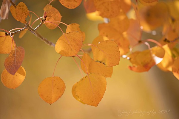 October 8 - I'm thankful for Aspens...and the beautiful shade of amber they turn.