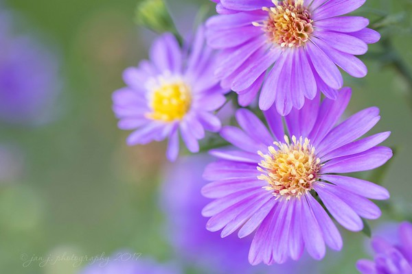 September 27 - I'm thankful for eyes that can see...<br /> <br /> #CY365 - A is for...(Asters)
