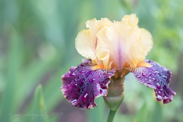May 27 - I'm thankful for a little extra time to go through my images from my time in Portland. I loved the Iris Gardens there and will definitely return.  #CY365 - Artistic