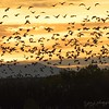 November 13 - Take Off at Dawn...I am so thankful to spend time photographing the Sand Cranes, even if it means getting up and out at 4:00 a.m.<br /> <br /> Bosque del Apache Wildlife Reserve<br /> San Antonio, NM