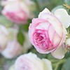 April 20 - My Eden roses have been teasing me for weeks with hundreds of buds. I'm thankful they have begun to bloom...<br /> <br /> #CY365 - Blossom