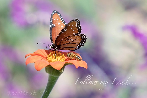 September 26 - I'm thankful for just a little bit of luck... I was shooting butterflies today and simply got lucky that this image fit today's prompt as I don't think I even knew the bee was there when I was shooting. <br /> <br /> #CY365 - Follow my Lead<br /> Butterfly Farms<br /> Encinitas, CA