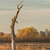 November 28 - I'm thankful for trees with 'character'...<br /> <br /> #CY365 - Characteristic/Distinguishing<br /> Bosque del Apache, NM