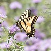 June 20 - I was thankful to find a garden brimming with Swallowtail Butterflies today...they're my favorite!<br /> <br /> #CY365 - Simple Joys<br /> Shipley Nature Center<br /> Huntington Beach, CA