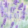 June 10 - Celebrating Lavender season!! So thankful for the fragrance of these little purple flowers...<br /> <br /> #CY365 - Celebrate<br /> Descanso Gardens<br /> La Canada, CA