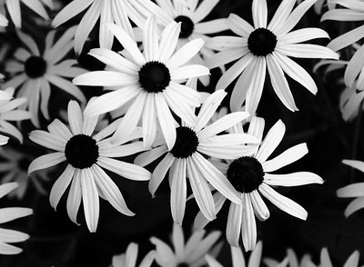 Day 250 - Black (and White) Eyed Susans