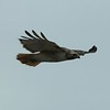 Day 105 - Red-tailed Hawk