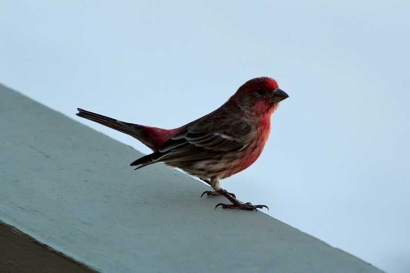 Day 114 - House Finch