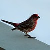 Day 115 - House Finch